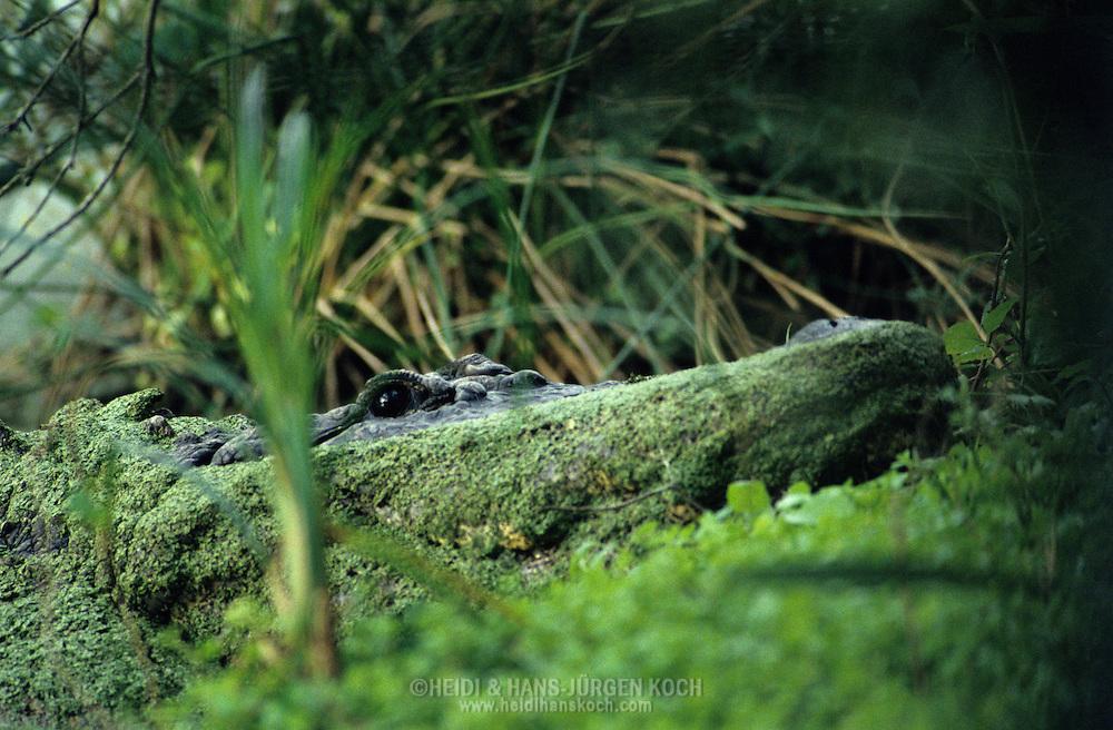 Vereinigte Staaten von Amerika, USA, Florida: amerikanischer Mississippi-Alligator (Alligator mississippiensis) versteckt in der Sumpfvegetation. | United States of America, USA, Florida: American Alligator, Alligator mississippiensis, hidden in vegetation of the swamp. |