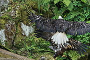 An adult Bald Eagle attacks a juvenile in an attempt to steal a scrap of salmon at Anan Creek in the Tongass National Forest, Alaska. Anan Creek is one of the most prolific salmon runs in Alaska and dozens of black and brown bears gather yearly to feast on the spawning salmon.