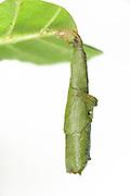 Birch leaf-roller (Deporaus betulae) , The Biosphere Reserve 'Niedersächsische Elbtalaue' (Lower Saxonian Elbe Valley), Germany (sequence 8/8) | Fertige Blattrolle des Trichterwicklers (Deporaus betulae).