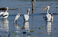 Snowy egret ( Egretta thula) and American white Pelican (Pelicanus erythrorhynchos) standing in Lake Chapala - Ajijic, Jalisco, Mexico