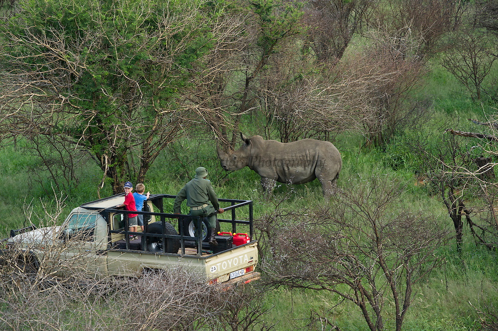 White Rhinoceros (Ceratotherium simum) darted for relocation. Conservation Solutions logistics vehicle locating it on the ground<br /> Private Game Reserve<br /> SOUTH AFRICA<br /> RANGE: Southern & East Africa<br /> ENDANGERED SPECIES