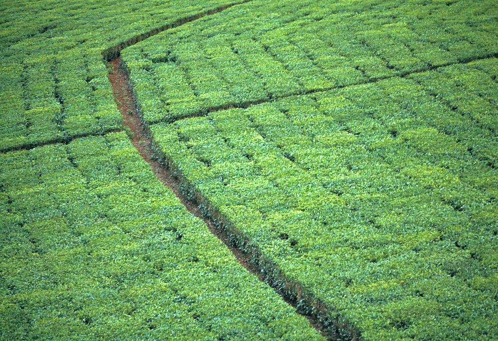 Neat rows of tea plants grow in the Highlands of Uganda