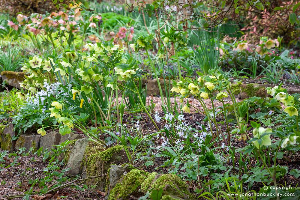 Helleborus x hybridus syn. Helleborus orientalis with Puschkinia scilloides var. libanotica in the woodland garden at Glebe Cottage