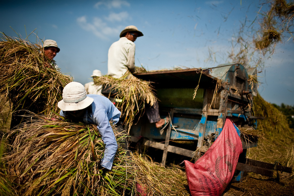 Farmers harvest rice in Long An Province, West of Ho Chi Minh City, Vietnam a few days after the Lunar New Year Celebrations.