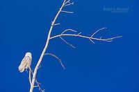 Snowy owl on the Canadian Prairies