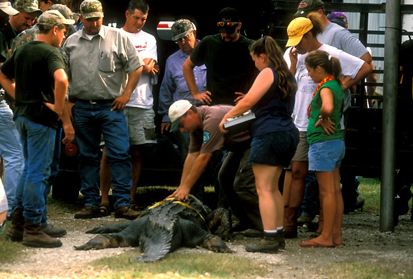 Stock photo of a ranger measuring the belly of an alligator at the Texas Gatorfest in Anhuac.