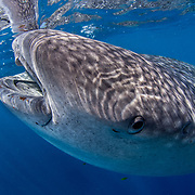 Whale shark (Rhincodon typus) feeding on plankton on the surface with a snorkeller, Honda Bay, Palawan, the Philppines.