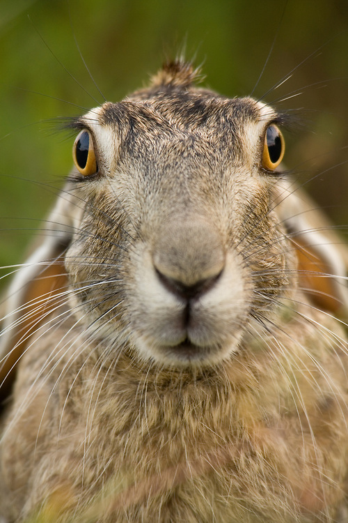 A Blacktailed Jack Rabbit stares gazingly at photographer Jay Goodrich.