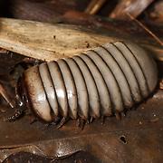 A terrestrial Sphaerotheriida isopod in Kaeng Krachan.