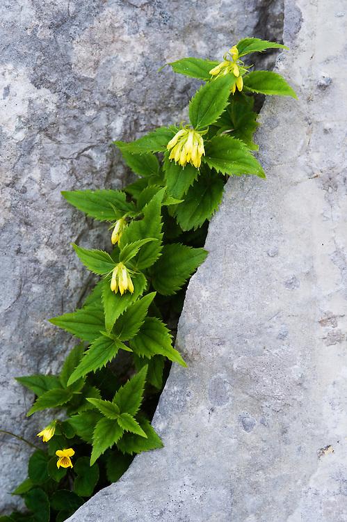 Paederota lutea<br /> Triglav National Park, Slovenia<br /> July 2009
