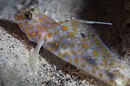 Fusigobius inframaculatus (Innerspotted sandgoby)