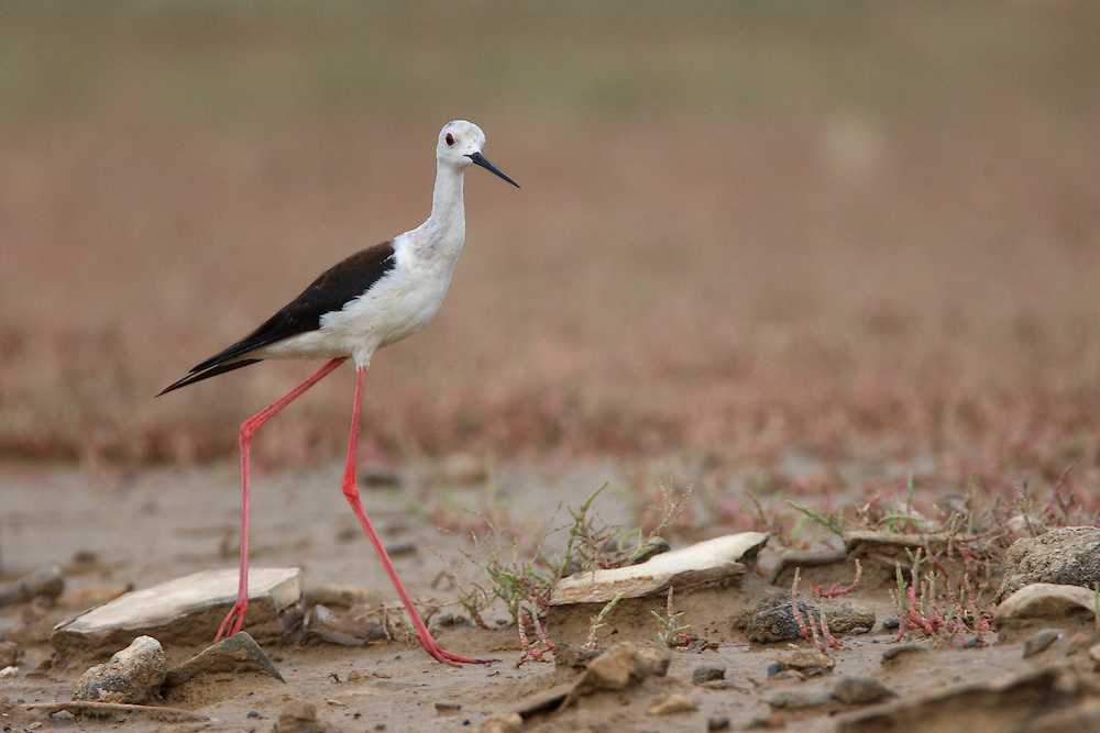 Black-winged Stilt at a small pond on a dry stream, Bagerova Steppe, Kerch Peninsula, Crimea, Ukraine