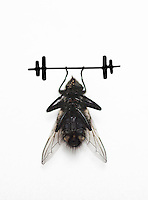 Housefly lifting dumbbell over white background
