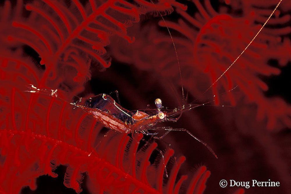 commensal shrimp, Periclimenes sp., on crinoid or feather star; ovarium on top of cephalothorax holds unfertilized, unripened eggs; fertilized developing eggs are visible through abdomen, Tulamben Bay, Bali, Indonesia