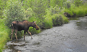 This young moose seems to be caution before crossing the stream.