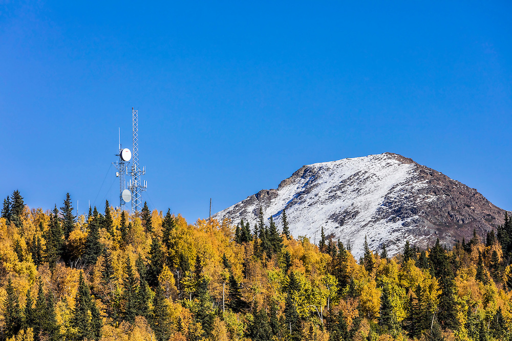 Alaska.  Bright yellow Quaking Aspen (Populus tremuloides), Paper Birch (Betula papyrifera), and Balsam Poplar (Populus balsamifera) mixed with dark green White Spruce (Picea glauca) make a bold display of fall color on the ridge north of Bear Valley.  Multiple communication towers rise above the trees and Flattop Mountain with new snow is in the background against a bright blue sky in September.