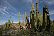 Cardon cactus, tallest cactus species in world; Isla Santa Catalina, Baja, Mexico.