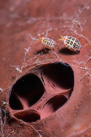 Super macro image of two amphipods on a sponge. Komodo, Inonesia
