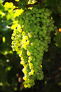 White Thompson Seedless Grapes grow on a vine on an arbor.
