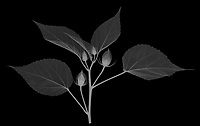 X-ray image of a midnight marvel hibiscus in bud (Hibiscus 'Midnight Marvel', white on black) by Jim Wehtje, specialist in x-ray art and design images.