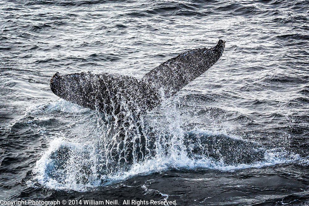 Humpback whale breaching, Antarctic Peninsula, Antarctica 2014