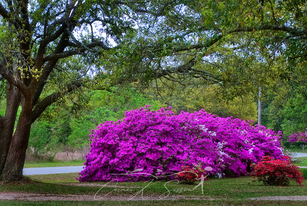 Pink Pride of Mobile azaleas bloom in a front yard garden during Spring in Mobile, Alabama. (Photo by Carmen K. Sisson/Cloudybright)
