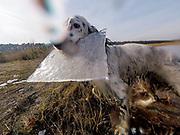 """English Setter """"Rudy"""" apportiert eine Eisplatte am 20.02. 2018 am Teich von Stara Lysa, (Tschechische Republik).  Rudy wurde Anfang Januar 2017 geboren und ist vor einiger Zeit zu seiner neuen Familie umgezogen."""