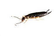 Ring-legged Earwig (Euborellia annulipes)<br /> TEXAS: Edwards Co.<br /> Bruce Moring Ecolab off C.R. 24; Camp Wood, 6 km NW<br /> 30-Nov-2013  29.74391 -100.09612<br /> J.C. Abbott &amp; K.K. Abbott