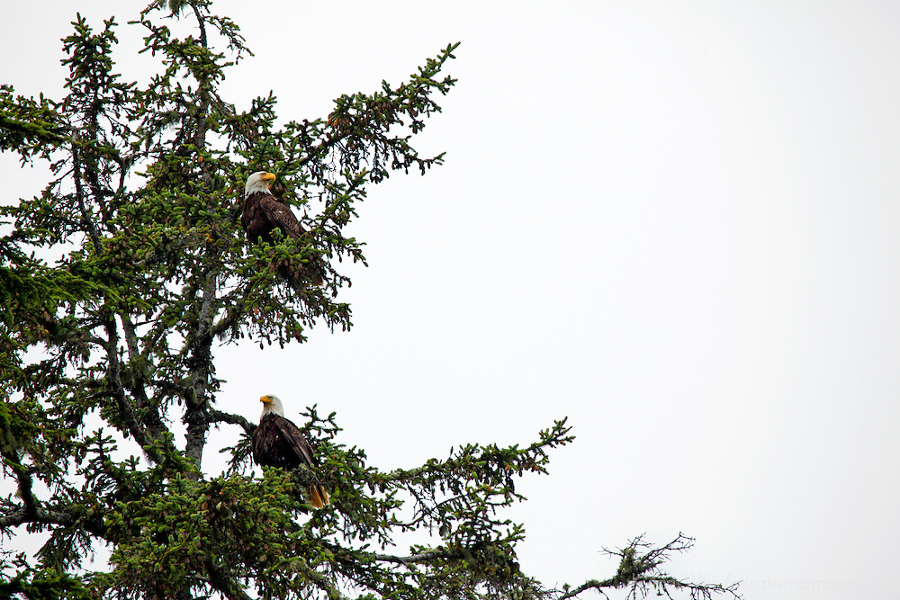 North America, Canada, British Columbia, Vancouver Island. Pair of Bald Eagles.