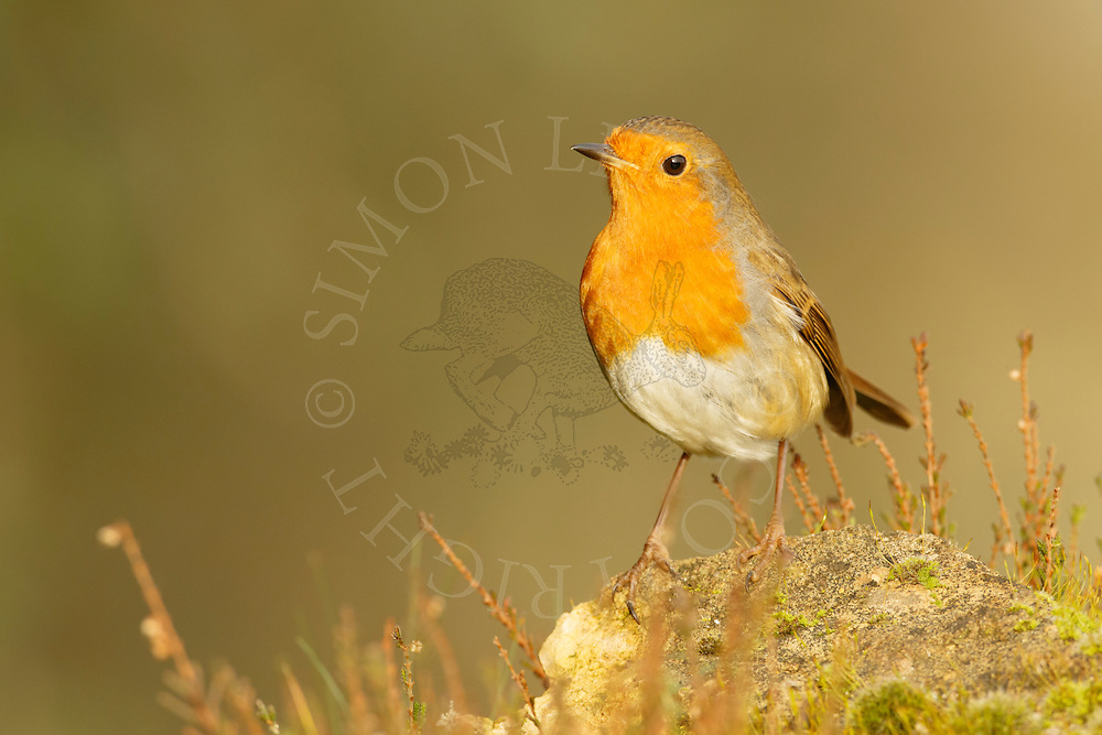 European Robin (Erithacus rubecula) adult, perched on mossy rock on heathland, Norfolk, UK.