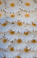 Amsterdam, Holland. White Gerbera Flowers at a market.