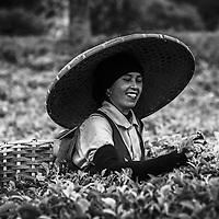 Tea plantation in Indonesia