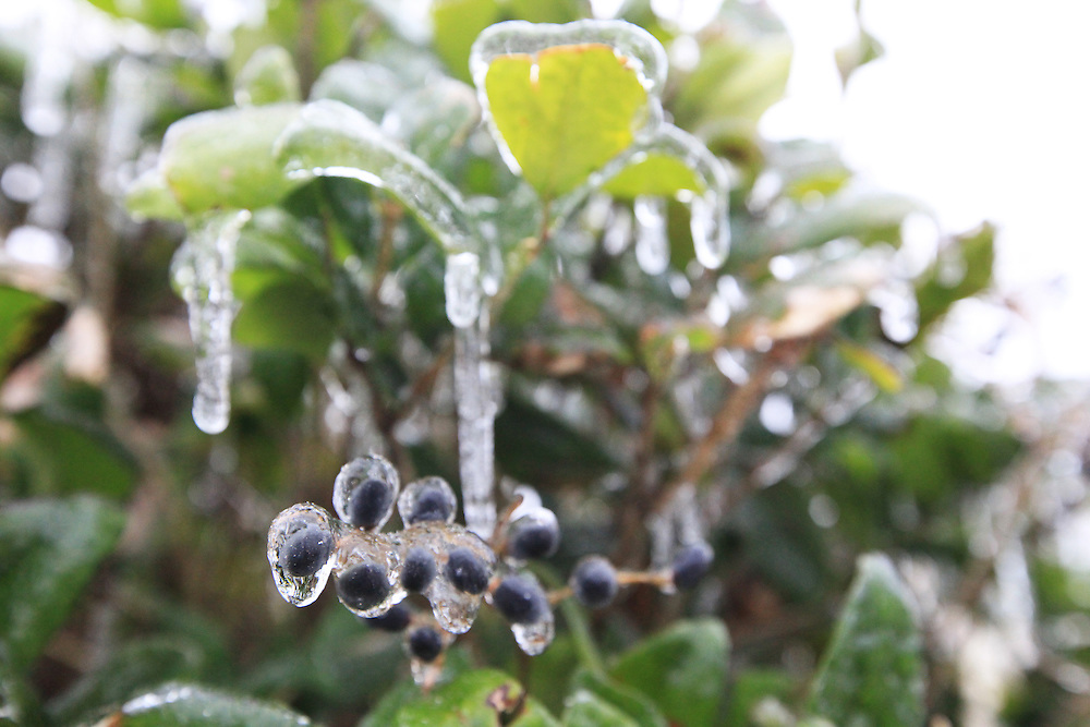 Berries are covered with ice in the Dunes West neighborhood of Mount Pleasant after a long period of freezing rain ended Wednesday, Jan. 29, 2014. (ANDREW KNAPP/STAFF)