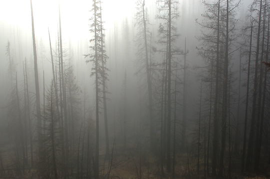 Fog envelopes burned lodge pole pines (Pinus contorta) burned in the fire of 2003. Yellowstone National Park. Fall