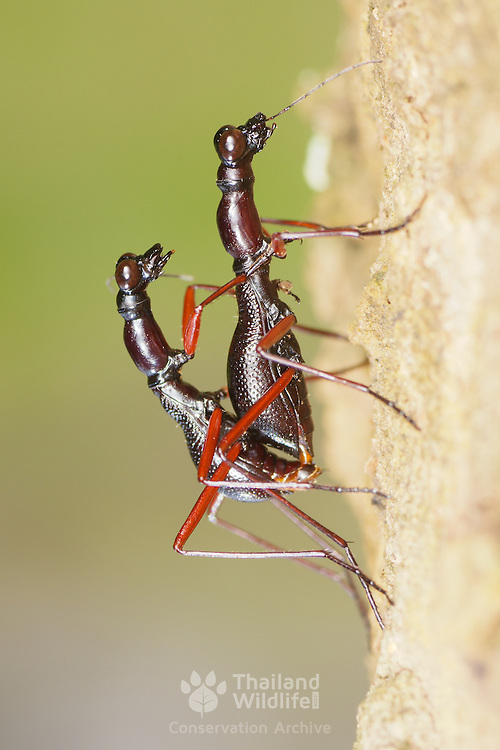 Tricondyla annulicornis tiger beetles mating in Khao Yai National Park, Thailand.