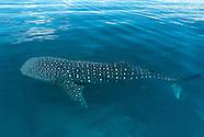 Tiburón ballena_FAM