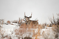 Northern Utah 2017 more snow then has been seen in many years the Mule Deer are working hard to find enough food this is the end of January and still plenty of time for more snow the local Fish and Game offices have decided to start a feeding program to help them out.