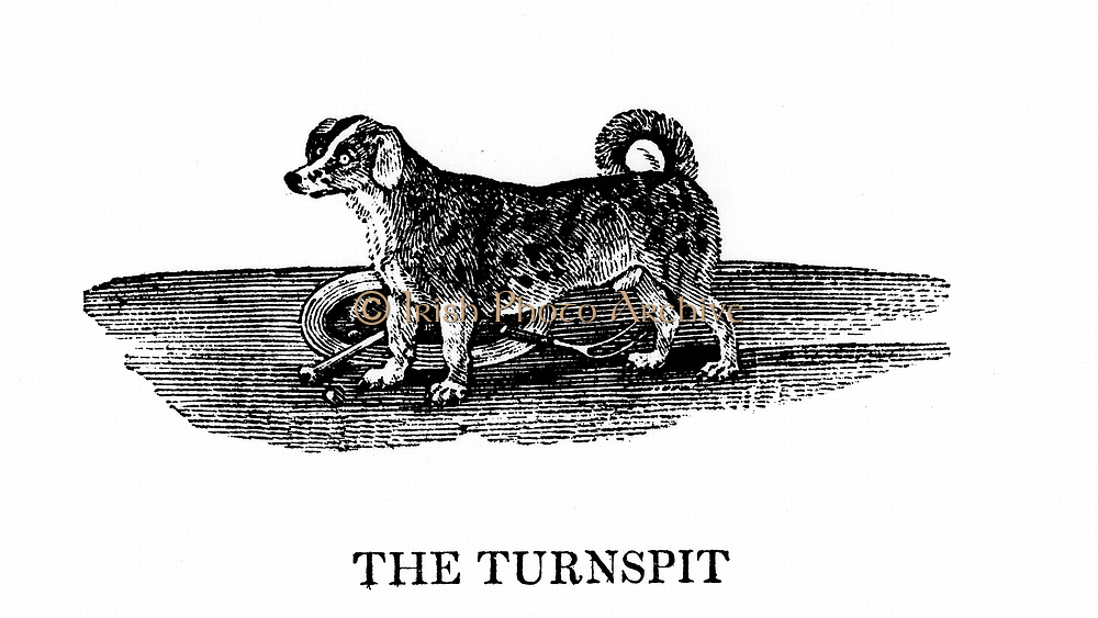 Turnspit dog. These short-legged dogs were bred especially to work in wheels turning cooking spits. By 1800 the breed had almost disappeared.  From 'A General History of Quadrupeds' by Thomas Bewick (Newcastle upon Tyne, 1790). Wood engraving.