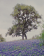 """Bluebonnets flow up a hill topped by a large oak tree on a misty day near Brenham, Texas. NOTE: Click """"Shopping Cart"""" icon for available sizes and prices. If a """"Purchase this image"""" screen opens, click arrow on it. Doing so does not constitute making a purchase. To purchase, additional steps are required."""