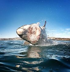 South Africa - GoPro Shark Photographer - 07 Dec 2015