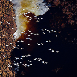 In early May larger and larger groups of snowgeese travel north over the arctic tundra that is still brown after months of winter