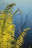 Bregner - Ferns