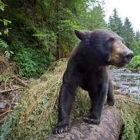 USA, Alaska, Kake, Remote camera view of Black Bear  (Ursus americanus)  walking on fallen tree trunk while fishing for spawning salmon in Gunnuk Creek