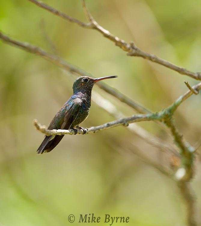 Glittering-Throated Emerald (Amazilia fimbriata) - female. Mangueiras Ranch, Bairro da Ponte Nova, Itapira, S.P. Brazil (Photo; Isobel Springett),