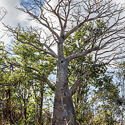 Boabab Tree at Sieben Ruins, St John, USVI