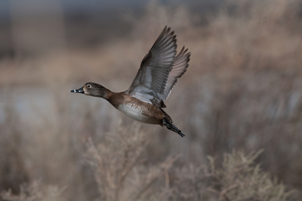 A ring-necked duck takes flight.