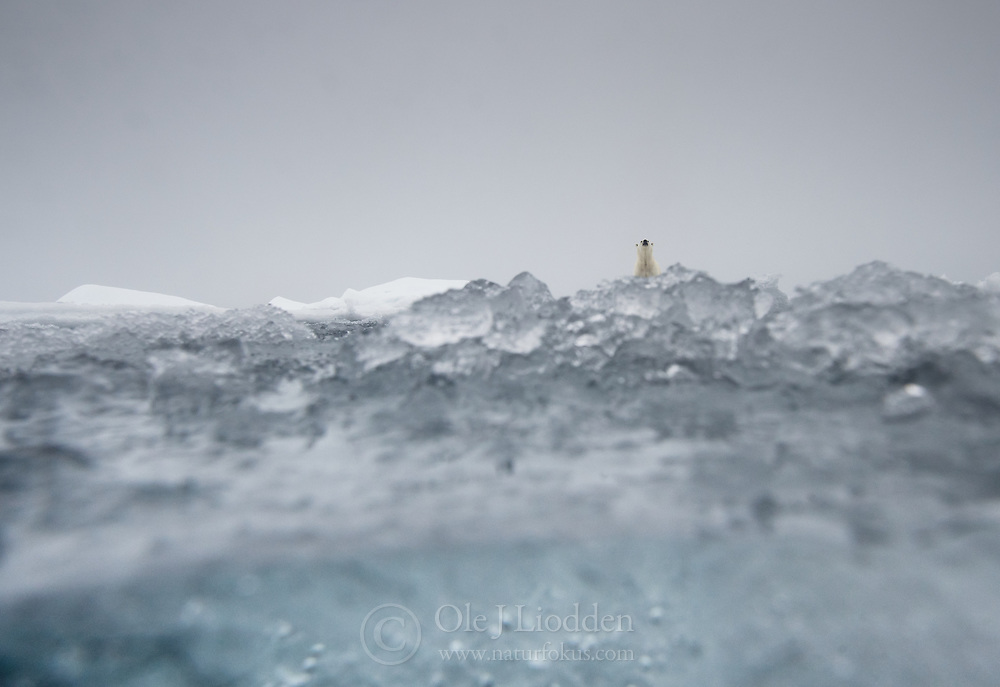 Polar bear (Ursus maritimus) in the drifting ice north of Svalbard, Norway