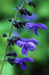 Salvia guaranitica 'Black and Blue' syn. S. caerulea of gardens