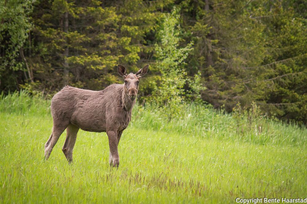Elg med mat i munnen, på ei eng i Flatanger i Nord-Trøndelag.