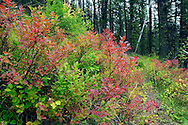 Transition to fall colors on the last day of summer in the Great Bear Wilderness. From my 2013 Artist-in-Wilderness Connection program residency run by the Flathead National Forest, Hockaday Museum of Art, Bob Marshall Wilderness Foundation and the Swan Ecosystem Center. Flathead Naitonal Forest, northwest Montana.
